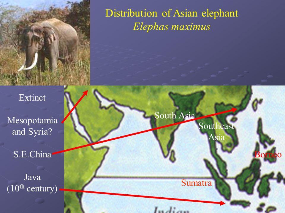 Distribution of Asian elephant Elephas maximus South Asia Southeast Asia Sumatra Borneo Extinct Mesopotamia and Syria? S.E.China Java (10 th century)
