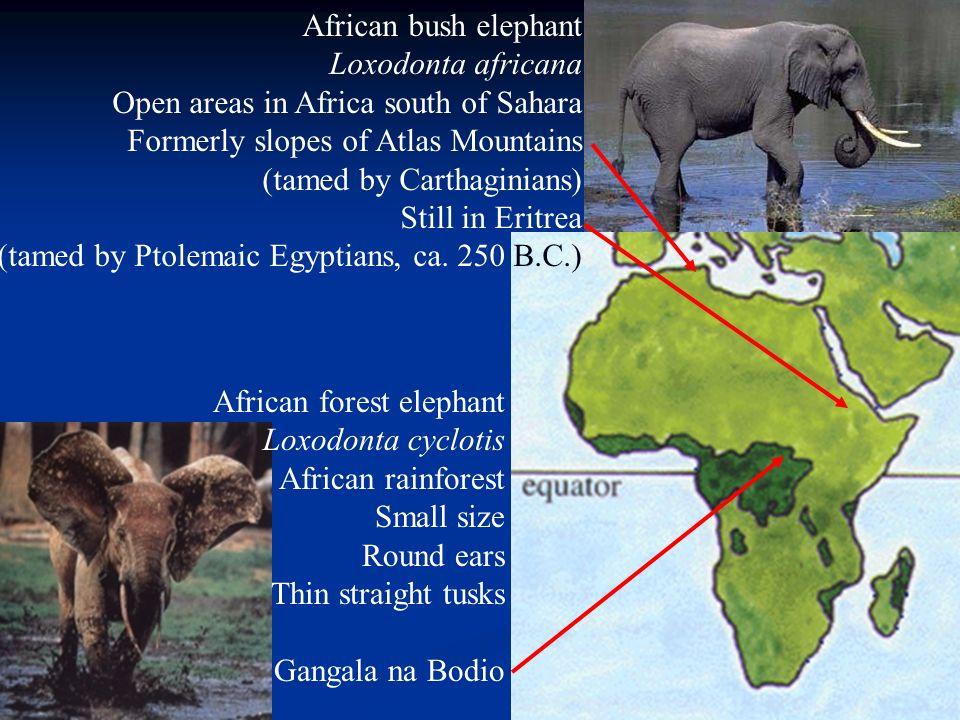 Tame African elephants today Forest elephants Gangala na Bodio 1950s Bush elephants Okavango 2002