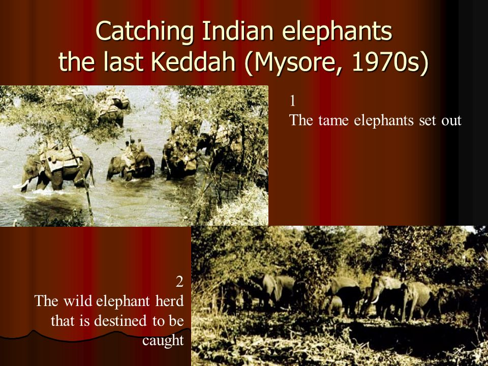 3 The tame elephants return to the keddah - One of the converging fences seen in background 4 The keddah People come from miles around to watch