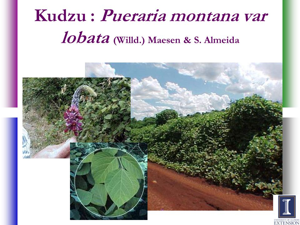 Kudzu : Pueraria montana var lobata (Willd.) Maesen & S. Almeida