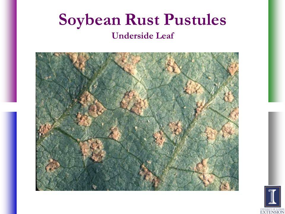 Soybean Rust Pustules Underside Leaf