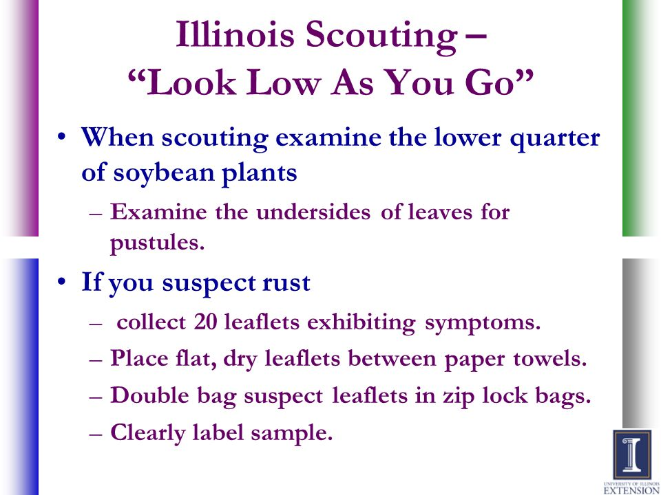 Illinois Scouting – Look Low As You Go When scouting examine the lower quarter of soybean plants –Examine the undersides of leaves for pustules. If yo