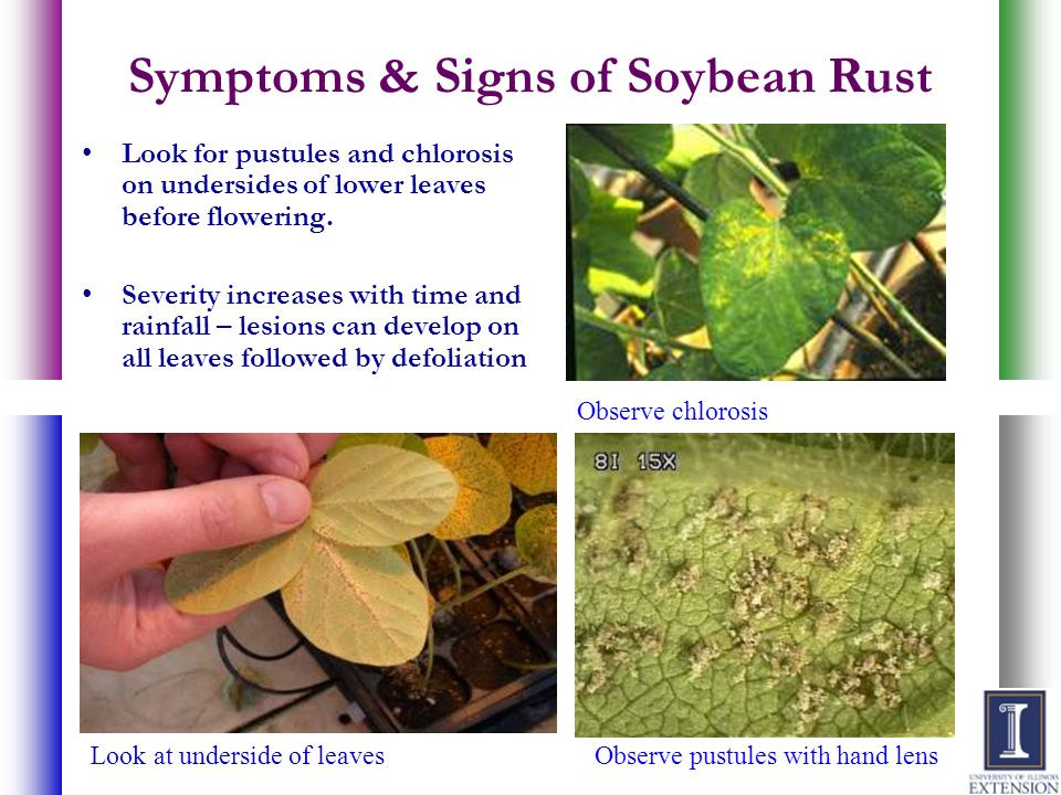 Symptoms & Signs of Soybean Rust Look for pustules and chlorosis on undersides of lower leaves before flowering. Severity increases with time and rain