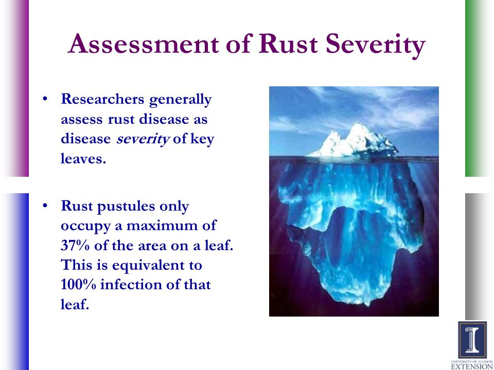 Assessment of Rust Severity Researchers generally assess rust disease as disease severity of key leaves. Rust pustules only occupy a maximum of 37% of