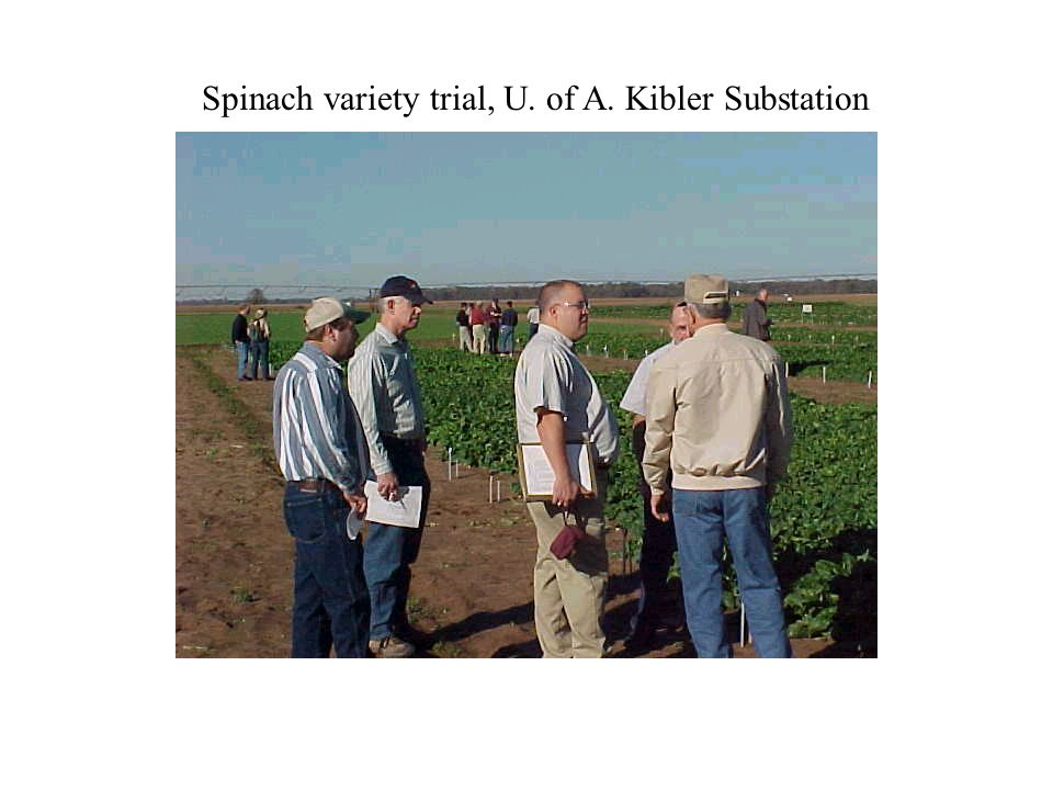 Spinach variety trial, U. of A. Kibler Substation