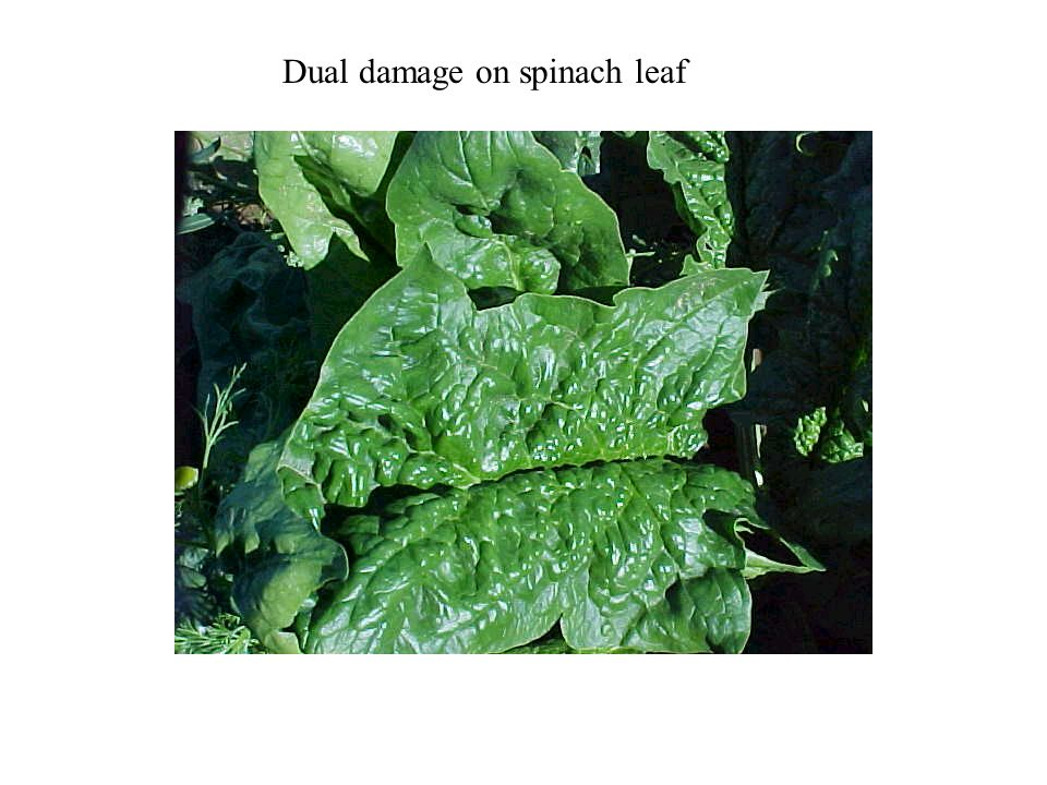 Dual damage on spinach leaf