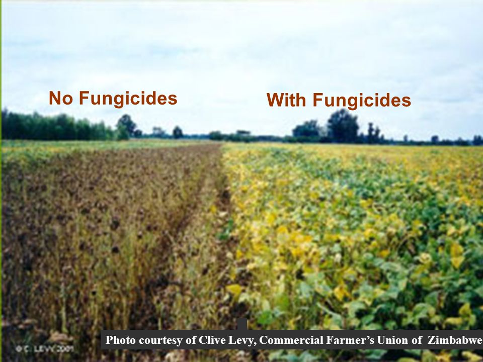 No Fungicides With Fungicides Photo courtesy of Clive Levy, Commercial Farmers Union of Zimbabwe