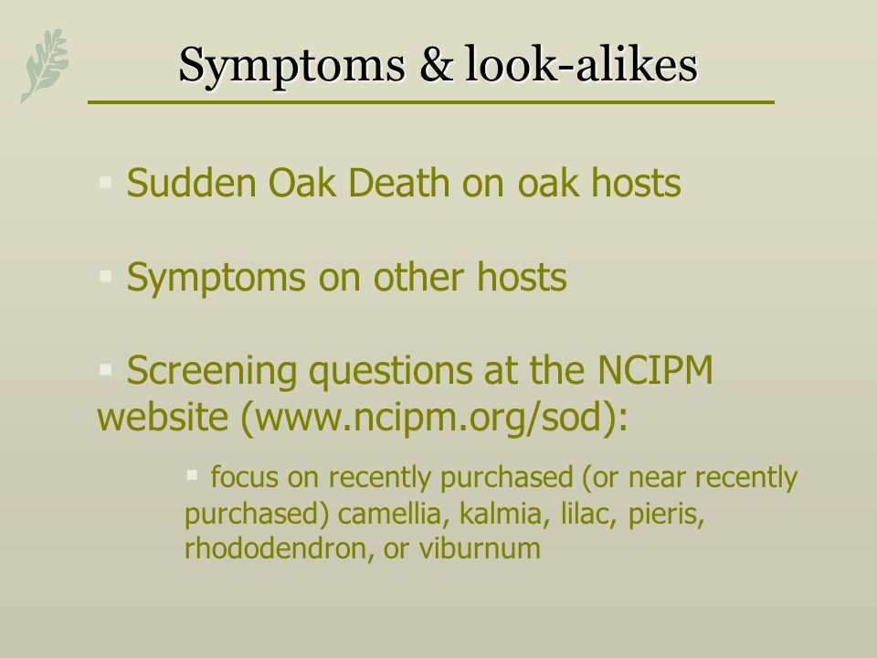 Symptoms & look-alikes Sudden Oak Death on oak hosts Symptoms on other hosts Screening questions at the NCIPM website (www.ncipm.org/sod): focus on recently purchased (or near recently purchased) camellia, kalmia, lilac, pieris, rhododendron, or viburnum