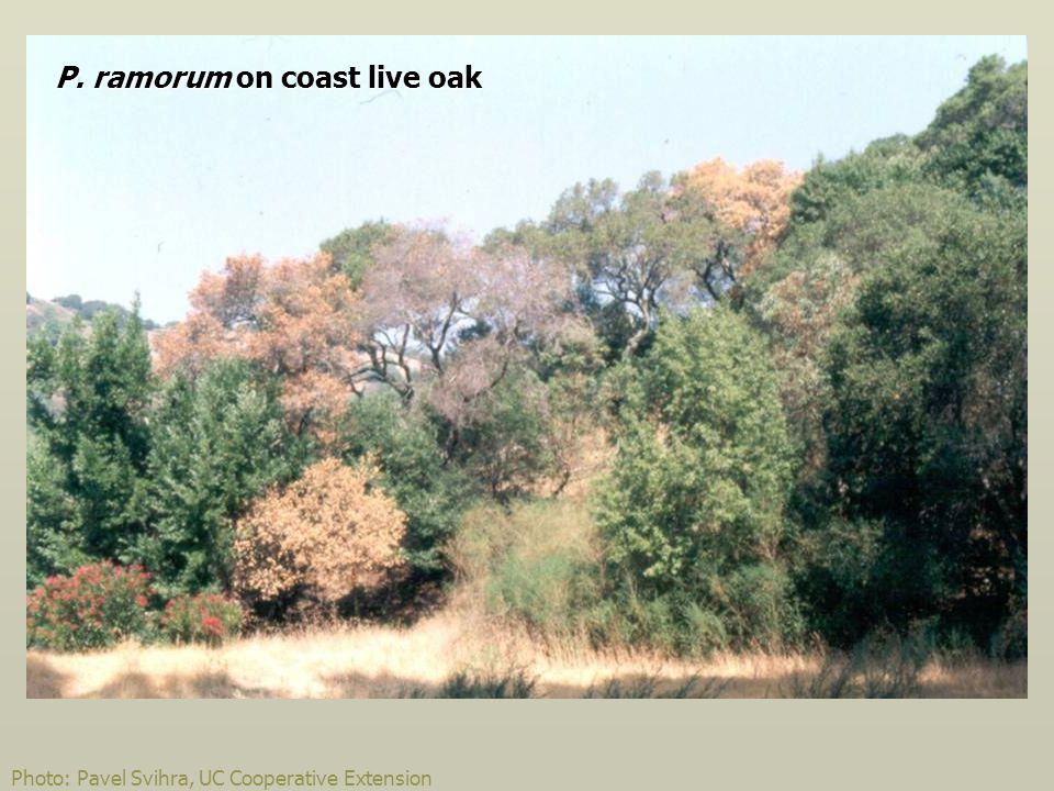 Photo: Pavel Svihra, UC Cooperative Extension P. ramorum on coast live oak