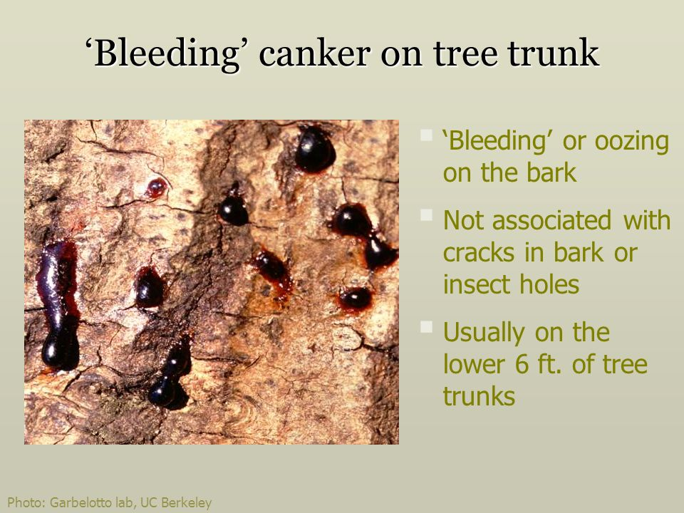 Bleeding canker on tree trunk Bleeding or oozing on the bark Not associated with cracks in bark or insect holes Usually on the lower 6 ft.