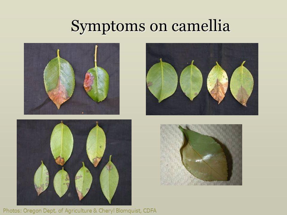 Symptoms on camellia Photos: Oregon Dept. of Agriculture & Cheryl Blomquist, CDFA