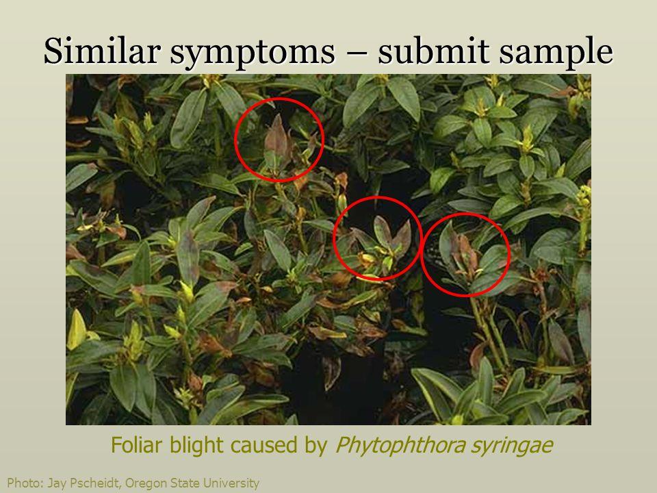 Photo: Jay Pscheidt, Oregon State University Similar symptoms – submit sample Foliar blight caused by Phytophthora syringae