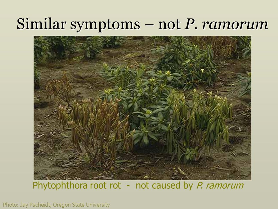 Phytophthora root rot - not caused by P.ramorum Similar symptoms – not P.