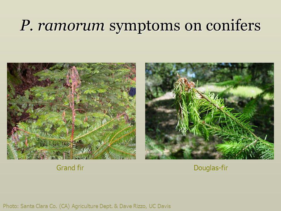 P. ramorum symptoms on conifers Photo: Santa Clara Co. (CA) Agriculture Dept. & Dave Rizzo, UC Davis Grand firDouglas-fir