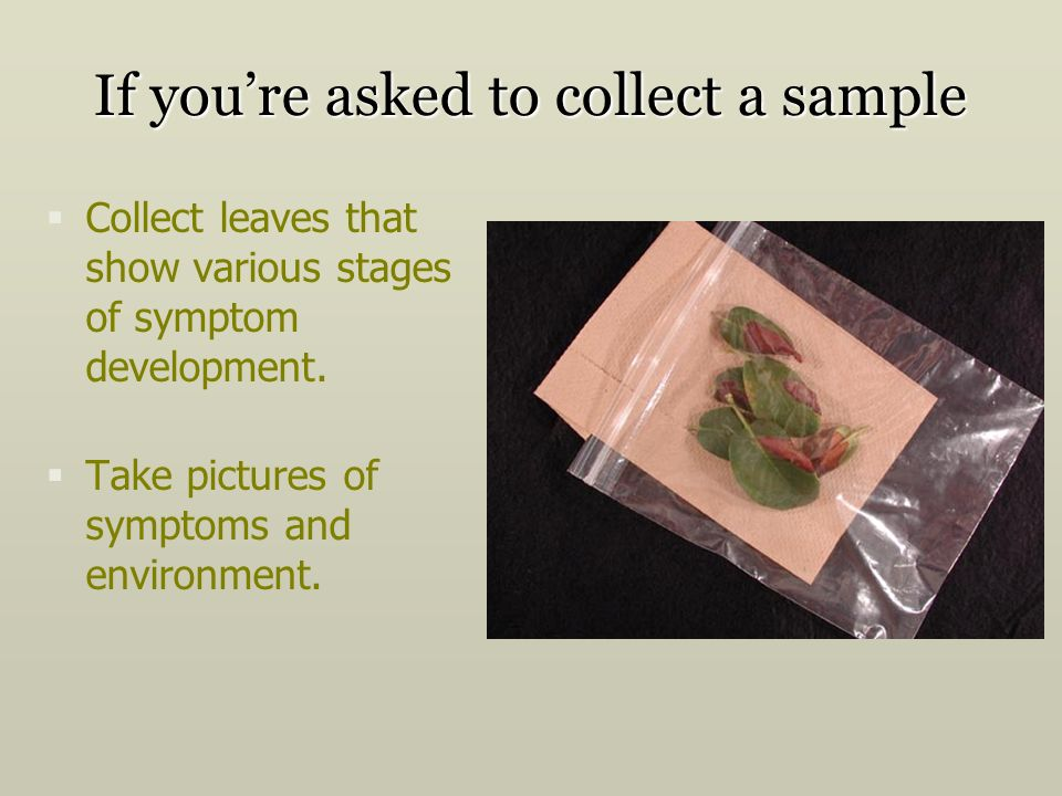 If youre asked to collect a sample Collect leaves that show various stages of symptom development.