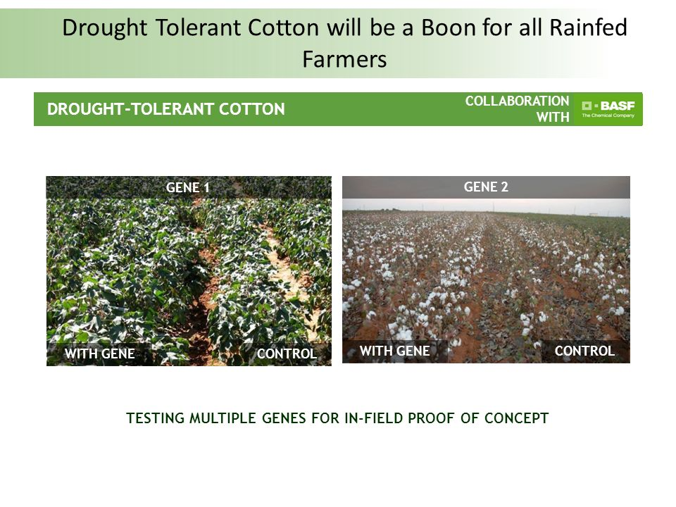 COLLABORATION WITH Worlds First Drought Tolerant Corn ready for Launch in 2012 in USA DROUGHT TOLERANT CORN FAMILY: LEAD PROJECT COLLABORATION WITH ControlWith Gene Corn with Drought Gene