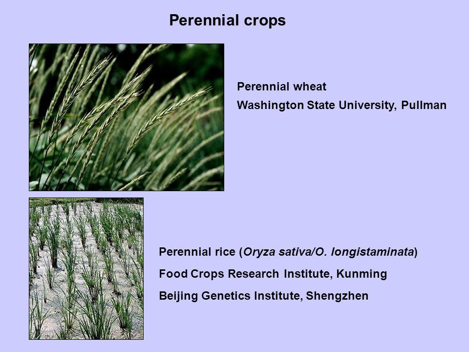 Perennial crops Perennial wheat Perennial rice (Oryza sativa/O.