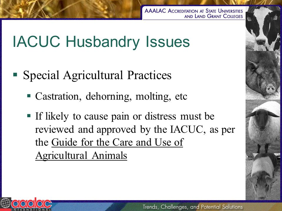 IACUC Husbandry Issues Special Agricultural Practices Castration, dehorning, molting, etc If likely to cause pain or distress must be reviewed and app