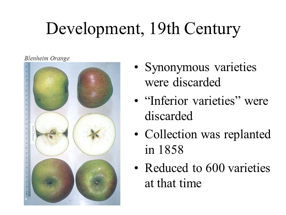 Development, 19th Century Synonymous varieties were discarded Inferior varieties were discarded Collection was replanted in 1858 Reduced to 600 variet