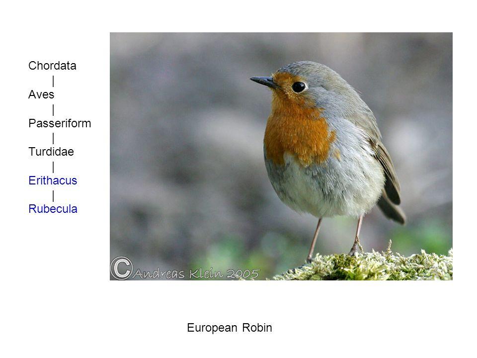 Chordata | Aves | Passeriform | Turdidae | Erithacus | Rubecula European Robin