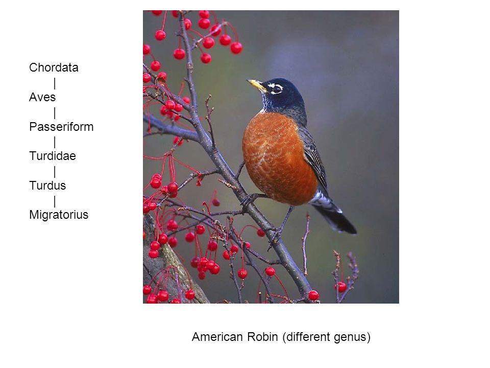 Chordata | Aves | Passeriform | Turdidae | Turdus | Migratorius American Robin (different genus)