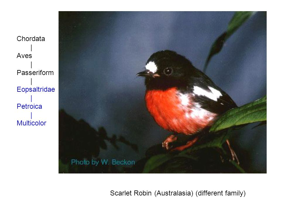Chordata | Aves | Passeriform | Eopsaltridae | Petroica | Multicolor Scarlet Robin (Australasia) (different family)