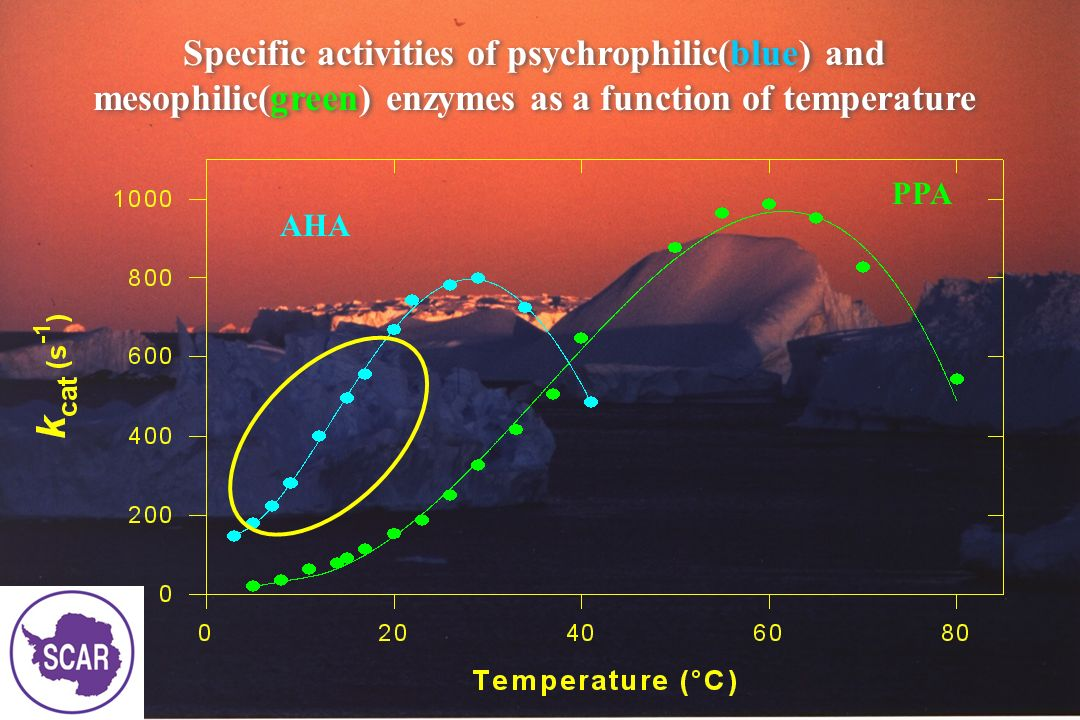Growth of an Antarctic bacterium (left) and excretion of α- amylase (right) as a function of temperature Growth of an Antarctic bacterium (left) and excretion of α- amylase (right) as a function of temperature 4° C 18°C 25°C 4°C 18°C 25°C Growth α- α-amylase