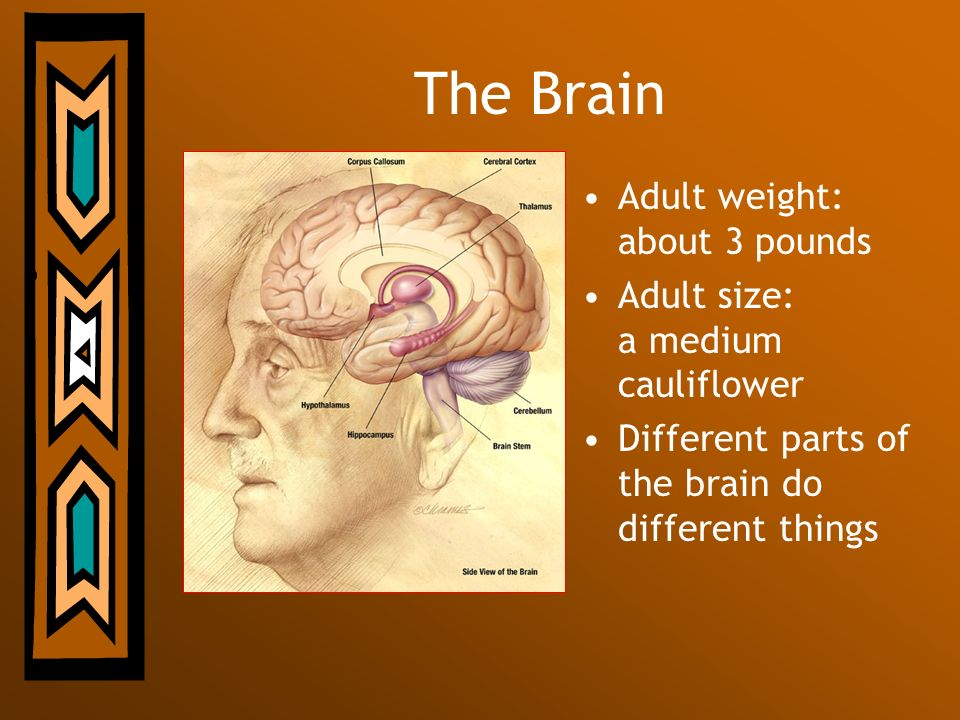 The Brain Adult weight: about 3 pounds Adult size: a medium cauliflower Different parts of the brain do different things