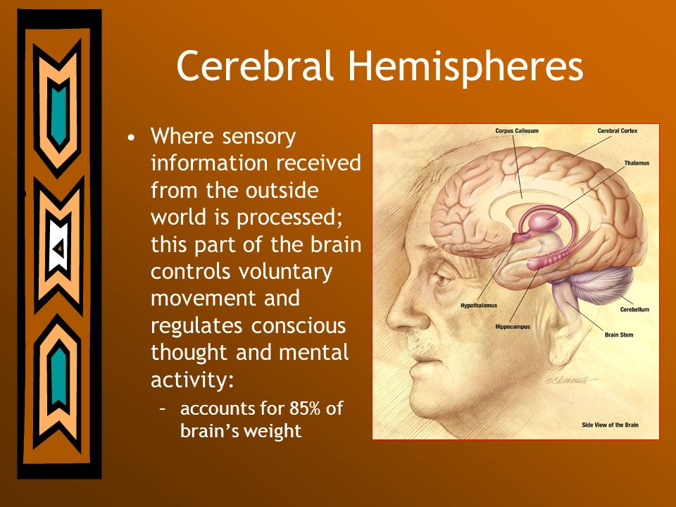 Cerebral Hemispheres Where sensory information received from the outside world is processed; this part of the brain controls voluntary movement and re