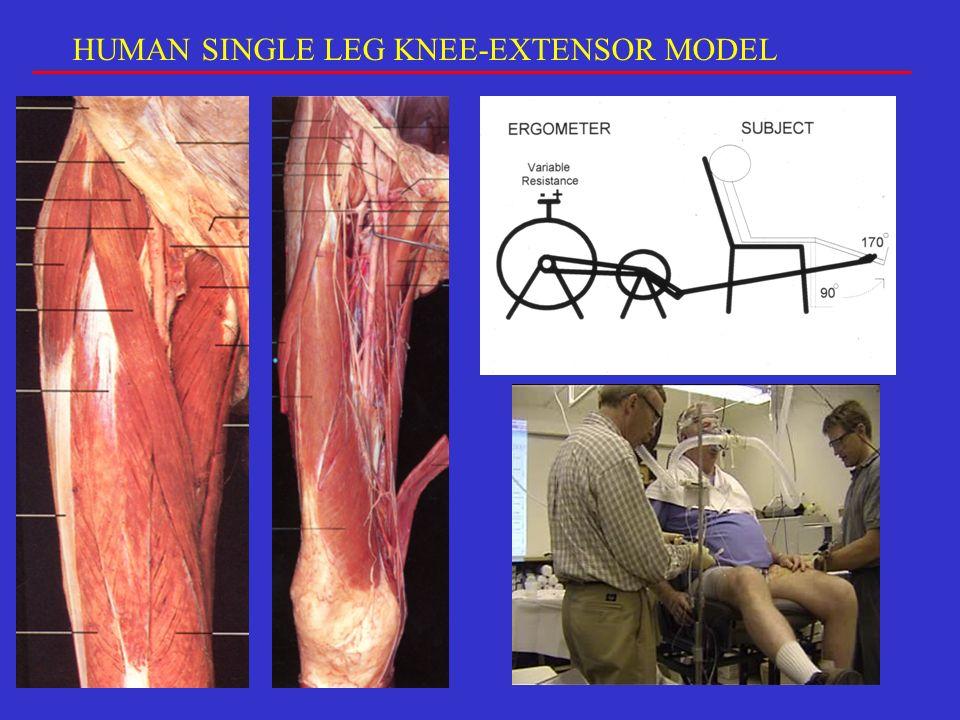HUMAN SINGLE LEG KNEE-EXTENSOR MODEL