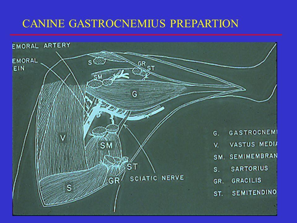 CANINE GASTROCNEMIUS PREPARTION