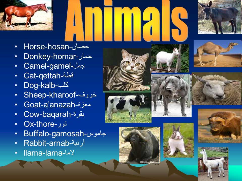Horse-hosan-حصان Donkey-homar-حمار Camel-gamel-جمل Cat-qettah-قطة Dog-kalb-كلب Sheep-kharoof-خروف Goat-aanazah-معزة Cow-baqarah-بقرة Ox-thore-ثور Buff