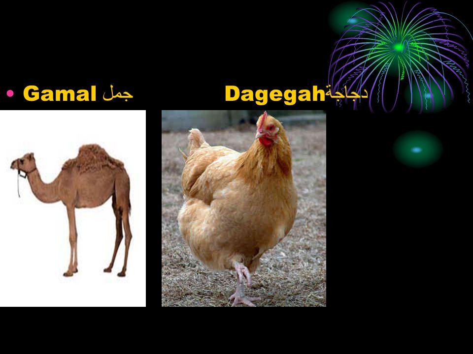 Gamal جمل Dagegah دجاجة