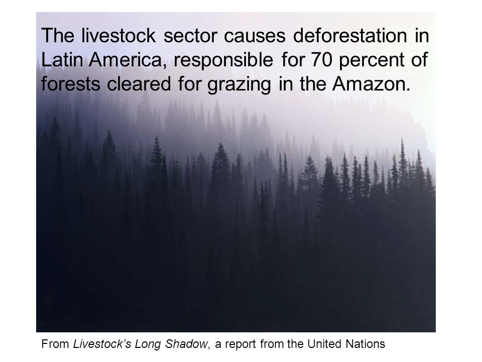 From Livestocks Long Shadow, a report from the United Nations The livestock sector causes deforestation in Latin America, responsible for 70 percent of forests cleared for grazing in the Amazon.