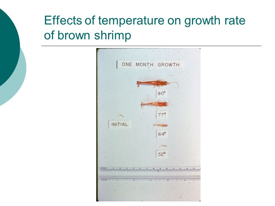 Effects of temperature on growth rate of brown shrimp