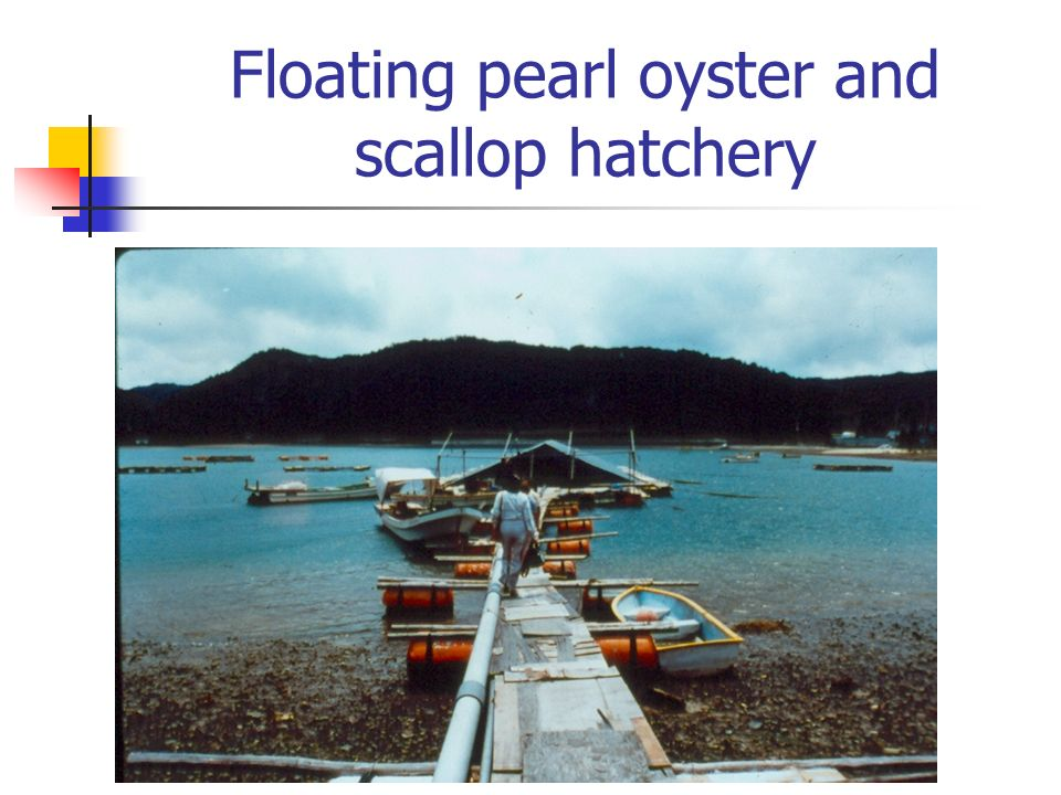 Floating pearl oyster and scallop hatchery