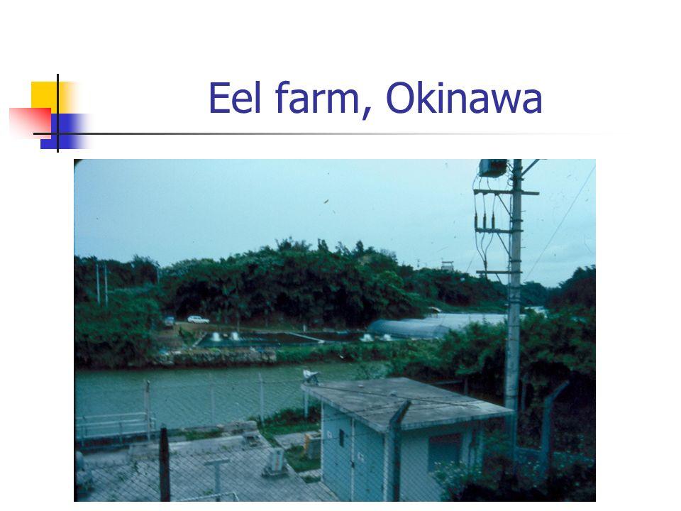 Eel farm, Okinawa