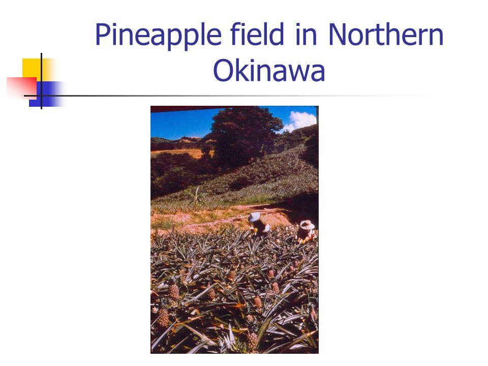 Pineapple field in Northern Okinawa