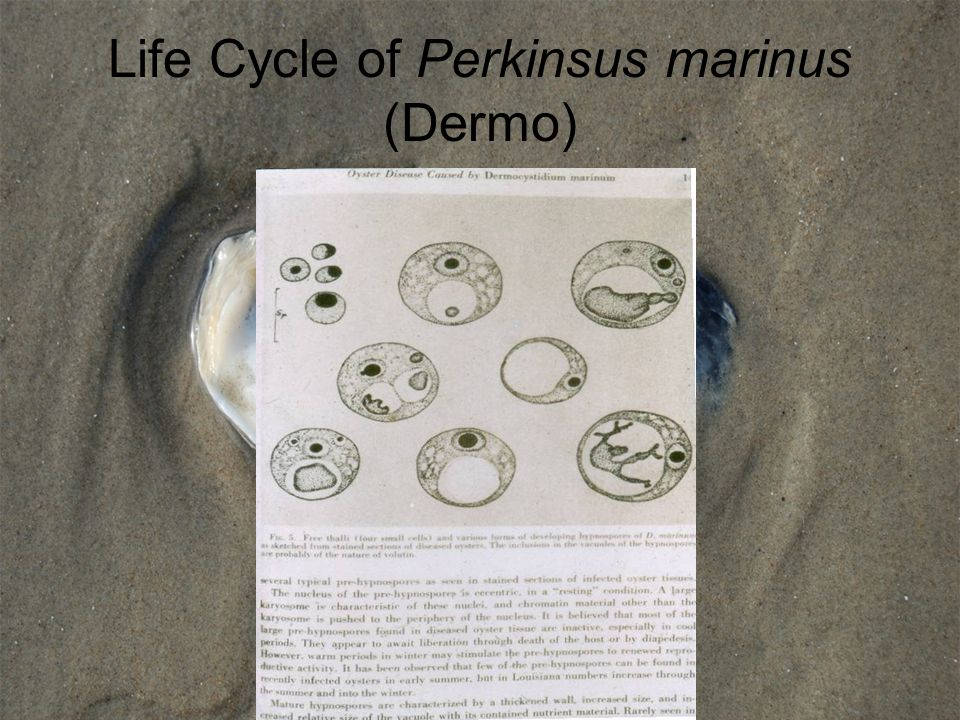 Life Cycle of Perkinsus marinus (Dermo)