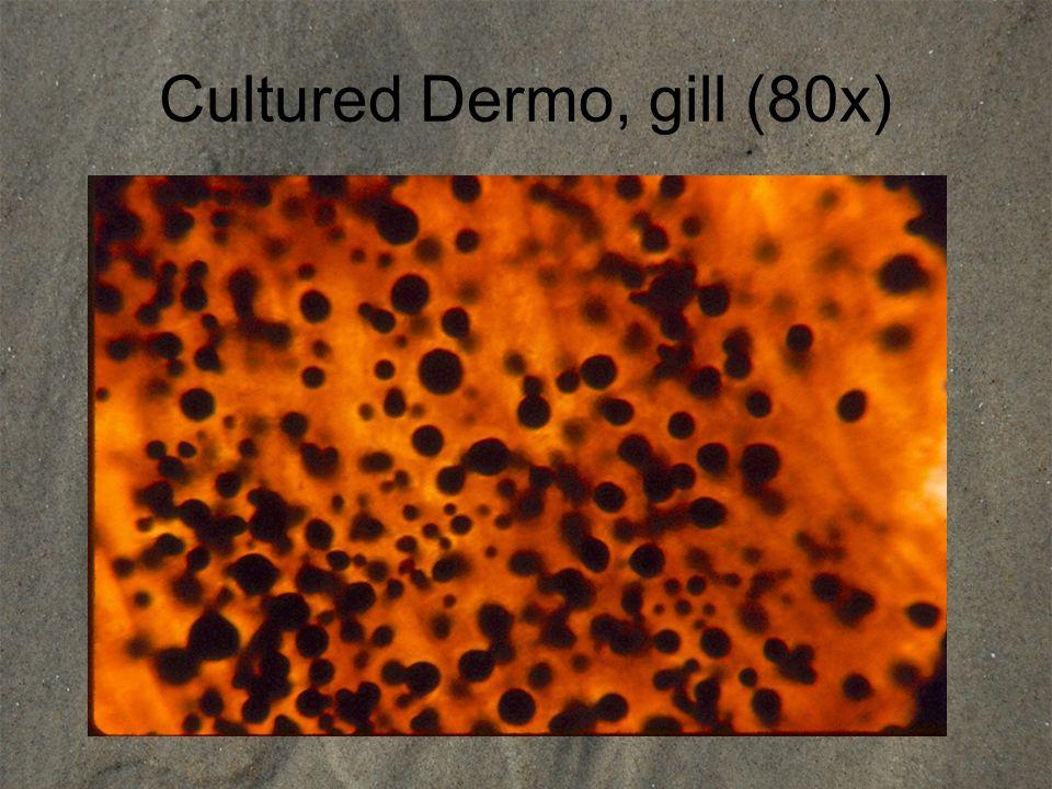 Cultured Dermo, gill (80x)