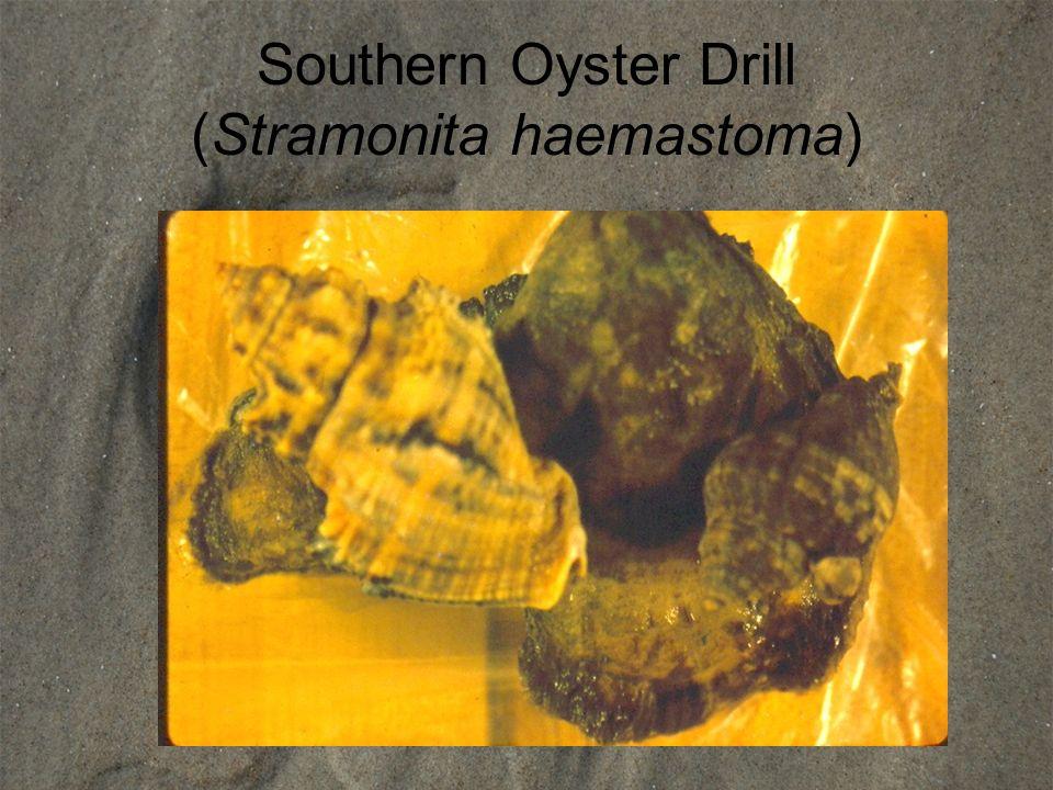 Southern Oyster Drill (Stramonita haemastoma)