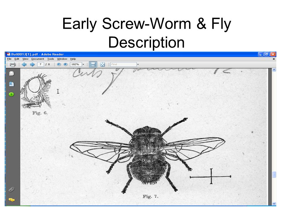 Early Screw-Worm & Fly Description