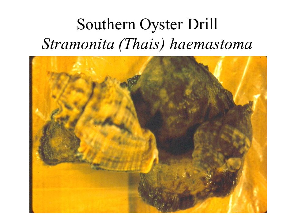 Southern Oyster Drill Stramonita (Thais) haemastoma