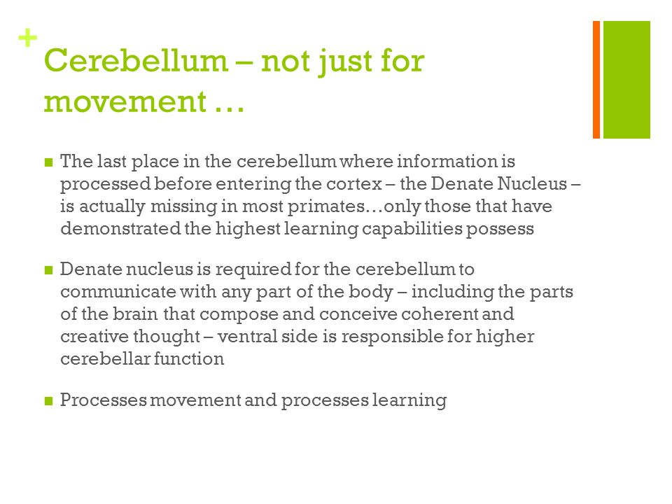 + Cerebellum – not just for movement … The last place in the cerebellum where information is processed before entering the cortex – the Denate Nucleus – is actually missing in most primates…only those that have demonstrated the highest learning capabilities possess Denate nucleus is required for the cerebellum to communicate with any part of the body – including the parts of the brain that compose and conceive coherent and creative thought – ventral side is responsible for higher cerebellar function Processes movement and processes learning