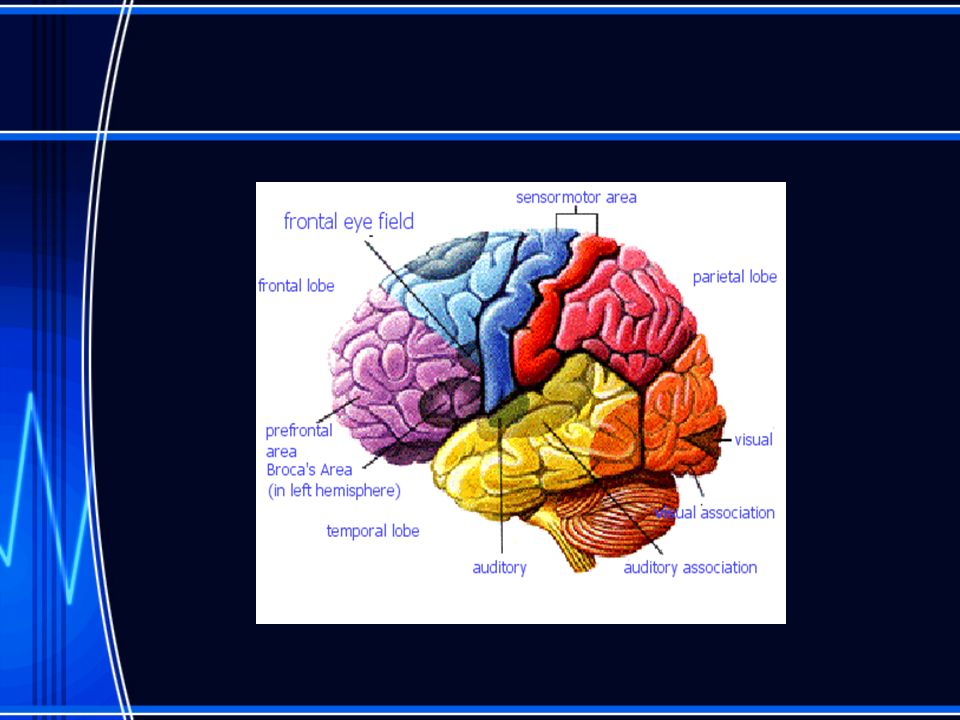 Brain Anatomy Review Cerebrum: largest and most advanced portion of brain.
