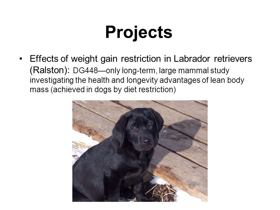 Projects Effects of weight gain restriction in Labrador retrievers (Ralston): DG448only long-term, large mammal study investigating the health and longevity advantages of lean body mass (achieved in dogs by diet restriction)