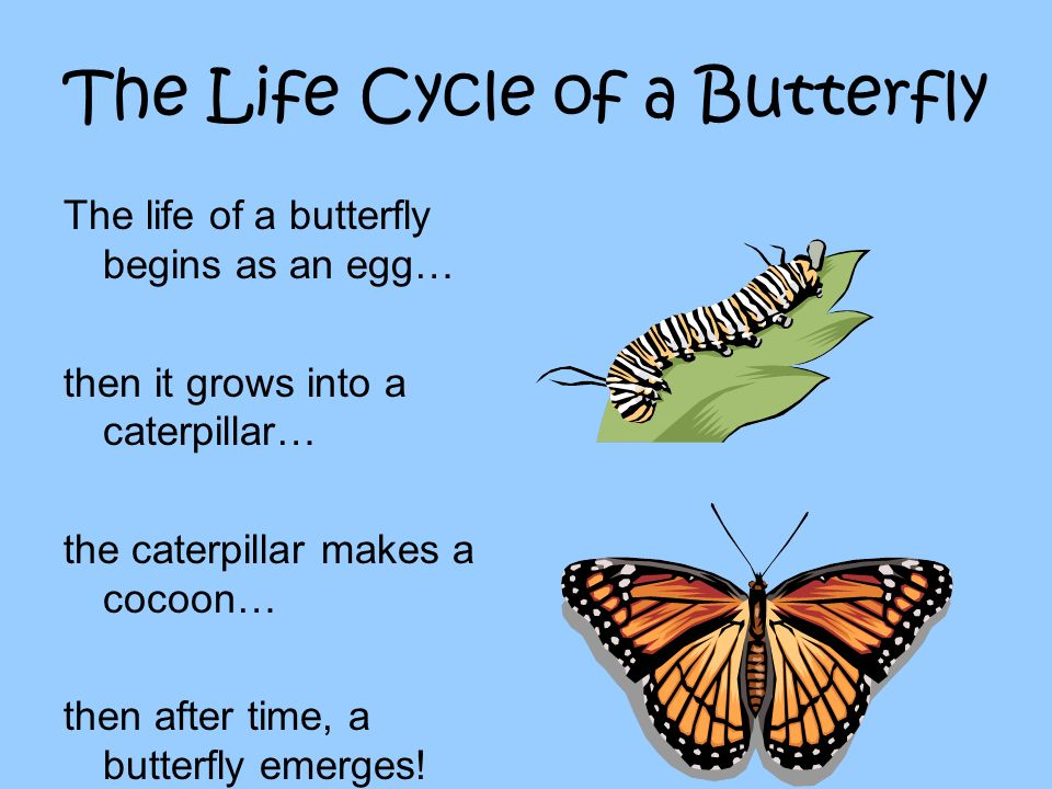 The Life Cycle of a Butterfly The life of a butterfly begins as an egg… then it grows into a caterpillar… the caterpillar makes a cocoon… then after t