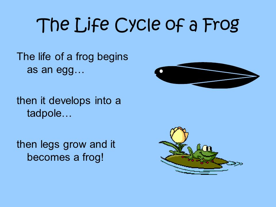 The Life Cycle of a Frog The life of a frog begins as an egg… then it develops into a tadpole… then legs grow and it becomes a frog!