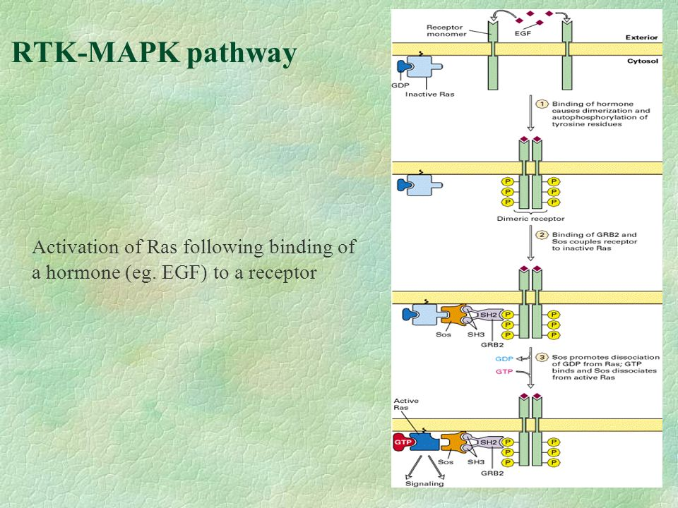 RTK-MAPK pathway Activation of Ras following binding of a hormone (eg. EGF) to a receptor