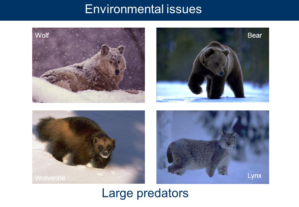 Environmental issues Large predators WolfBear Wolverine Lynx